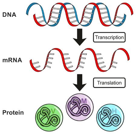 Central Dogma of Gene Expression infographic diagram showing the process of transcription and translation from DNA to RNA to protein and how it form for genetic science education 일러스트