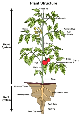 Illustration showing the parts of a tomato plant royalty free 87967057 plant structure infographic diagram including all parts of shoot and root systems showing buds flower fruit stem leaf node root hairs tip cap ccuart Gallery