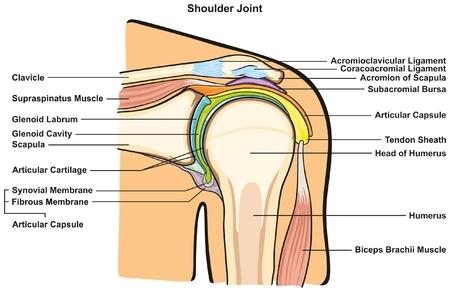 Schultergelenk des menschlichen Körpers Anatomie Infografik-Diagramm mit allen Teilen einschließlich Knochen Bänder Muskeln Bursahöhle Kapselknorpel-Membran für die medizinische Ausbildung und Gesundheitsfürsorge