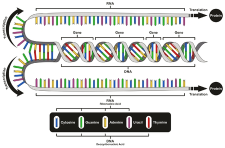Central Dogma of Gene Expression infographic diagram showing the process of transcription and translation from DNA to RNA to protein and how it form for genetic medical science education