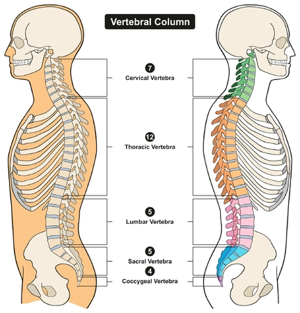 Vertebral Column of Human Body Anatomy infograpic diagram including all vertebra cervical thoracic lumbar sacral and coccygeal for medical science education and healthcare  イラスト・ベクター素材
