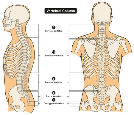 Columna vertebral del cuerpo humano Diagrama de infografía de anatomía que incluye todas las vértebras cervicales torácicas lumbares sacra y coccígea para la educación de ciencias médicas y cuidado de la salud Ilustración de vector