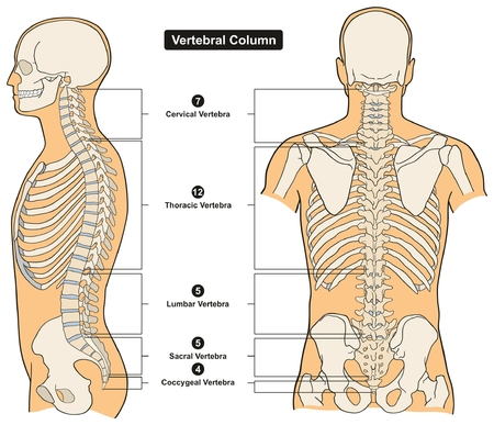 Vertebral Column of Human Body Anatomy infograpic diagram including all vertebra cervical thoracic lumbar sacral and coccygeal for medical science education and healthcare Stock Illustratie