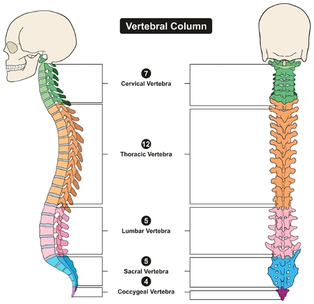 Vertebral Column of Human Body Anatomy infograpic diagram including all vertebra cervical thoracic lumbar sacral and coccygeal for medical science education and healthcare Ilustração