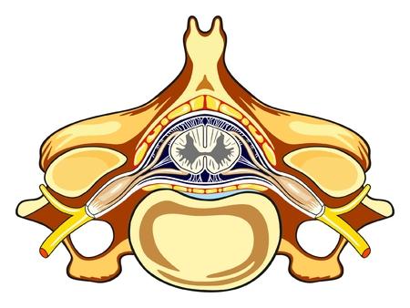 Diagrama infográfico da anatomia do corpo humano de Vertebra, incluindo todas as partes, cordão de forame do corpo vertebral do nervo espinhal da matéria cinzenta e branca para educação e cuidados de saúde médica