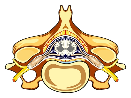 Vertebra Cross Section of Human Body Anatomy infographic diagram including all parts cord of grey and white matter spinal nerve vertebral body foramen for medical science education and healthcare