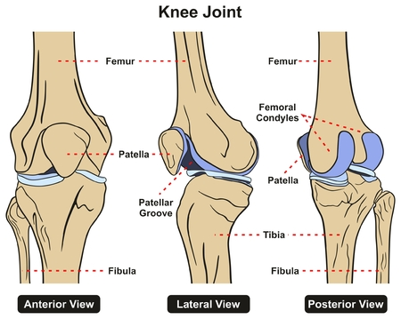 Knee Joint of Human Body Anatomy infographic diagram including anterior lateral and posterior view with all bones femur tibia fibula and patella for medical science education and healthcare Illustration