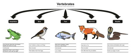 Vertebrates Classifications and Characteristics infographic diagram showing all types including amphibian bird fish mammal and reptile animals for biology and morphology science education