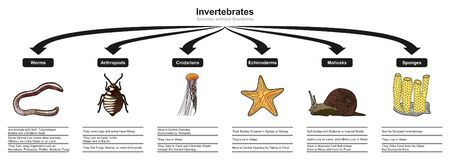 Invertebrates Animals Classification and Characteristics infographic diagram showing all types including worms arthropods cnidarians echinoderms mollusks sponges for biology and morphology science education 免版税图像 - 130475669