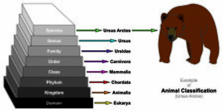 Example of Animal Classification Pyramid infographic diagram showing Ursus Arctos domain kingdom phylum class order family genus and species for biology morphology science education