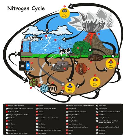 Nitrogen Cycle infographic diagram showing how nitrogen go in circulation with human environment factors nitrification fixation ammonification plant animal fossil fuel rain lightning volcano education with map keys
