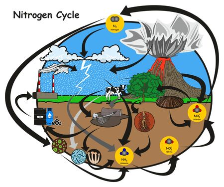 Nitrogen Cycle infographic diagram showing how nitrogen go in circulation with human environment factors nitrification fixation ammonification plant animal fossil fuel rain lightning volcano education Vectores