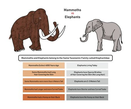 Mammoths vs Elephants Comparison infographic diagram including extinction availability skin covering height tusks and back hump for biology and historical science education 일러스트