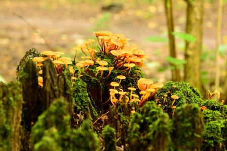 macrocosm: yellow mushroom growing on a tree stump