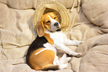 beagle lies in a chair on a hat