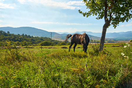 Strong and beautiful horse grazing on a summer meadow, north-western Bulgaria, near the Busintsi village and Tran city, BG