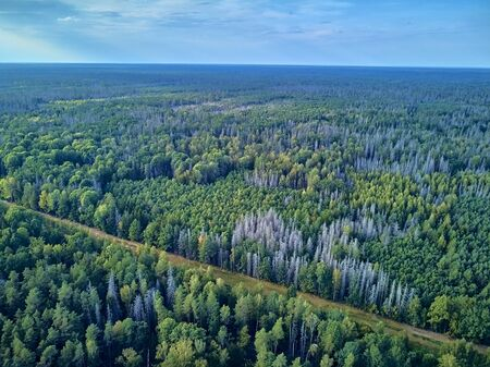 Beautiful panoramic aerial drone view to Bialowieza Forest - one of the last and largest remaining parts of the immense primeval forest that once stretched across the European Plain
