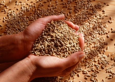hands with grains of corn