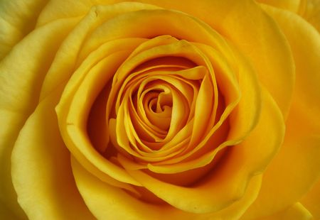 Cutout of a yellow rose, isolated over white.
