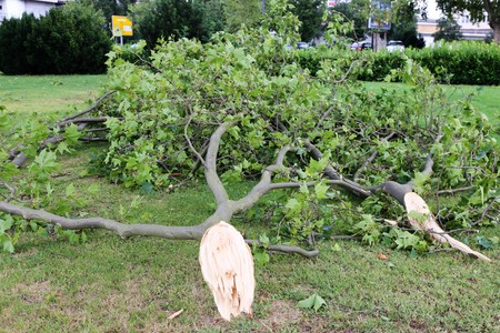 tree removal service: Damaged tree after a storm Stock Photo
