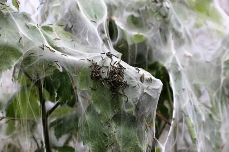 gronostaj: Ermine moth (Yponomeuta cagnagella)