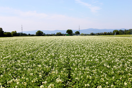 agrarian: Blooming potato field