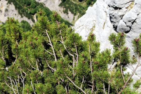 enano: Pino de montaña, pino mugo (Pinus mugo)