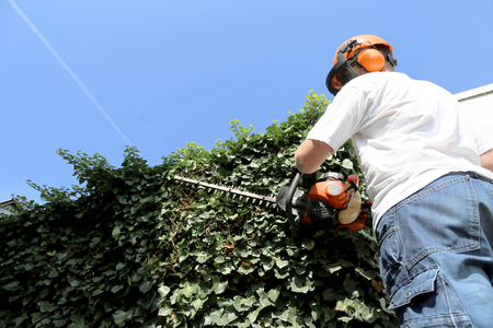Horticulture: Pruning and cutting hedges with chainsaw