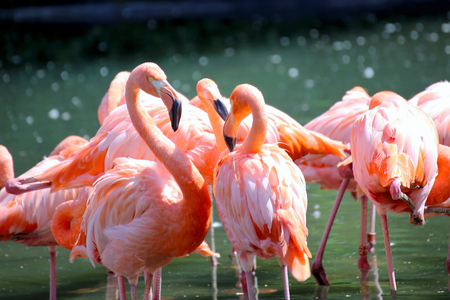 Flamingos (Phoenicopteridae) in the wild, close up Imagens