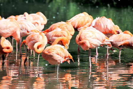 Flamingos (Phoenicopteridae) in the wild, close up Banco de Imagens