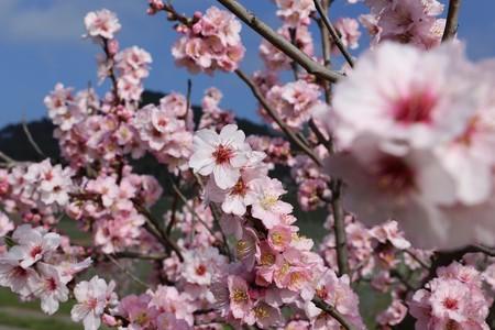 Almond blossoms, close up Фото со стока