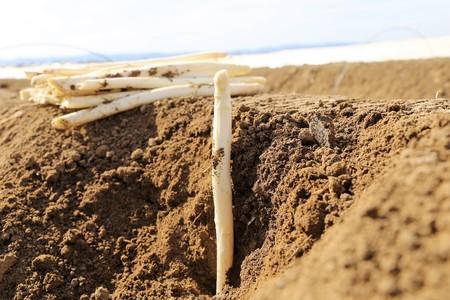 Asparagus harvest, close up Stock Photo