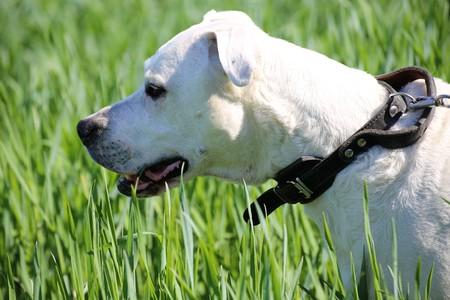 Dogo Argentino (Argentine Mastiff)