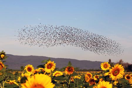 Espectacular vuelo natural de estorninos Foto de archivo