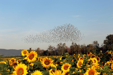 Natural spectacle flight of starlings