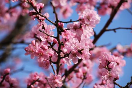 Almond blossoms Фото со стока
