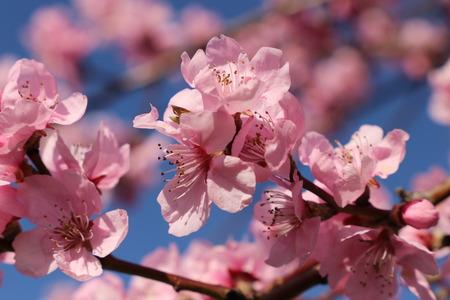 Almond blossoms, cherry blossoms