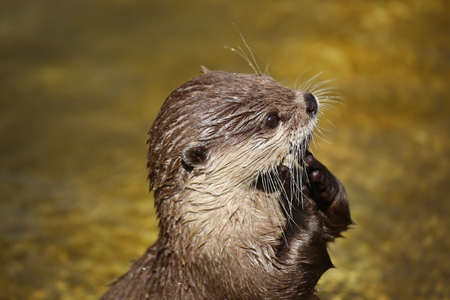 Otter (animal), close up