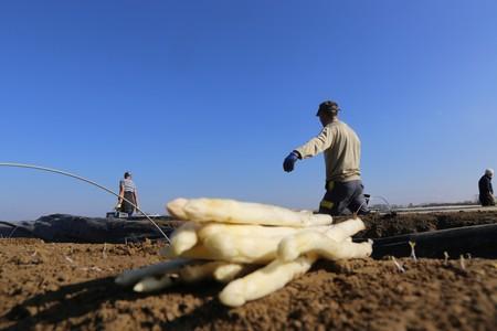 Agricultural asparagus harvest 스톡 콘텐츠