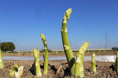 Green asparagus on the field against blue sky Stock Photo