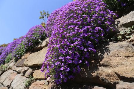 Purple rock cress (Aubrieta deltoidea)