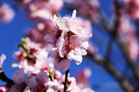 Almond blossoms, cherry blossoms
