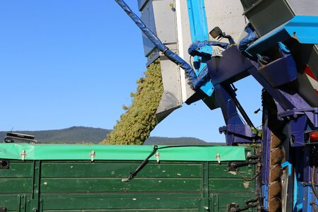 Harvesting grapes in the vineyard with harvester