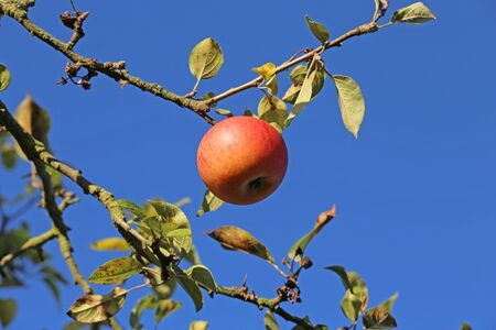 Ripe apple hanging on a tree