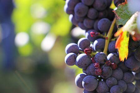 Blue grapes on vine Stok Fotoğraf