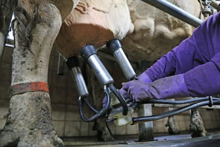 Milking a cow with milking machine