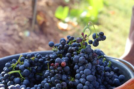 Manual grape harvesting, hand harvesting