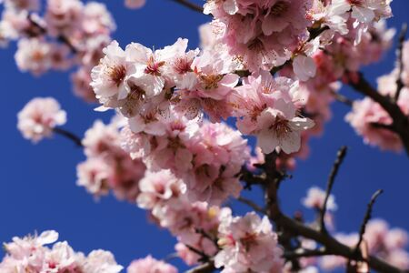 Almond blooms, cherry blossoms (close up)