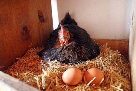 Chicken with eggs in the hen house