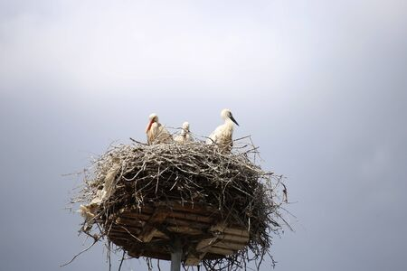 Stork nest with offspring (Ciconiidae)